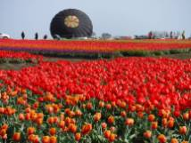 Tulip_DSCF1238