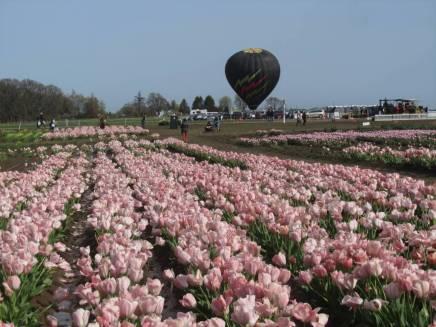 Tulip_IMG_4442