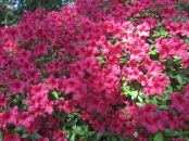 Cystal_Rhododendrons_IMG_5574