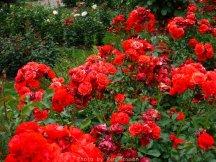 RoseGarden_DSCF2541