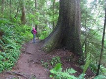 One of several old growth trees we saw.s