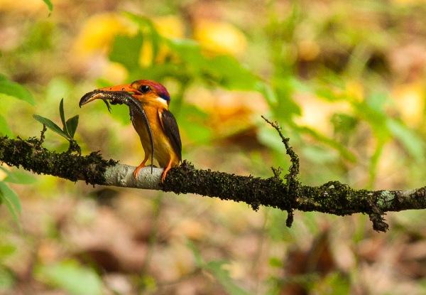 The Oriental Dwarf Kingfisher catches a lizard