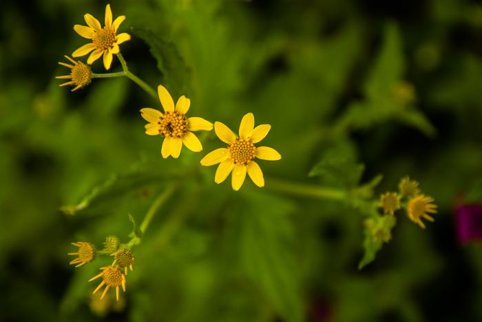 The yellow blooms of Grahm's Damsels