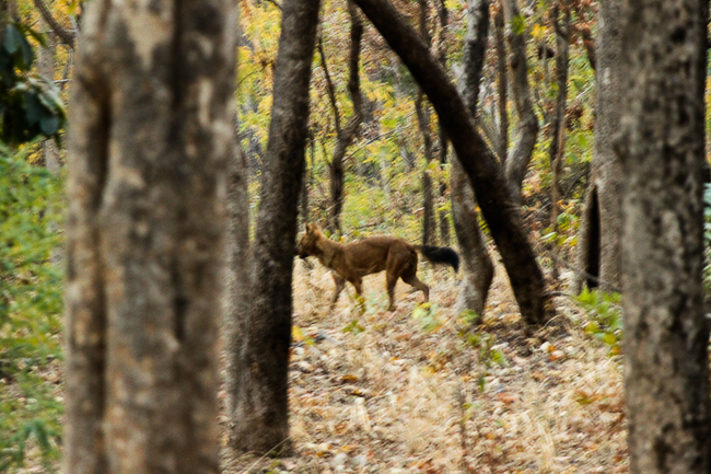 A rather blurry picture of an Indian wild dog or Dhole