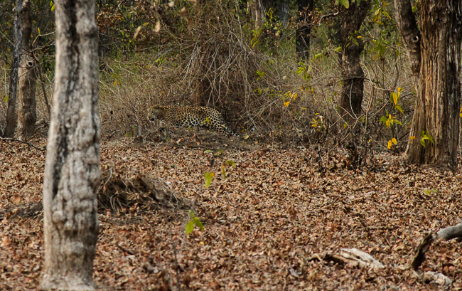 The leopard, a veritable ghost of the forest, gives a fleeting glimpse