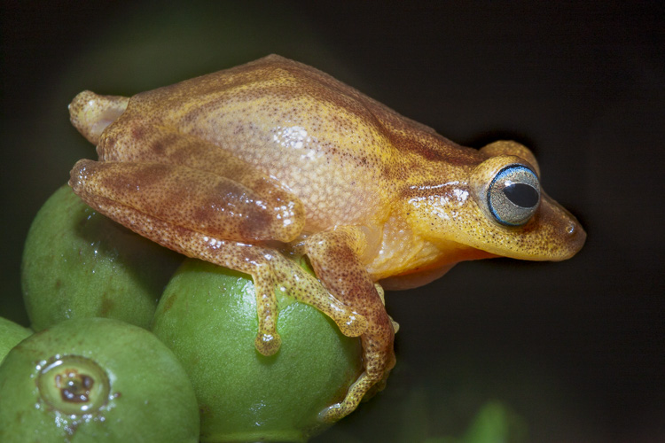 A blue eyed bush frog (Raorchestes luteolus) sits on some coffee beans