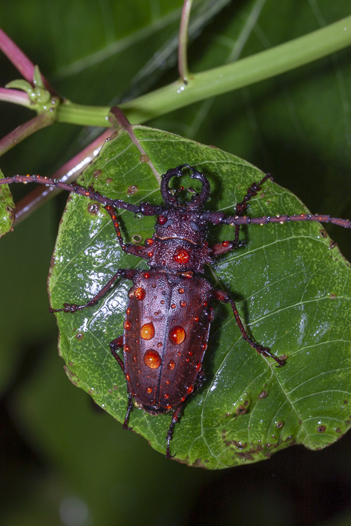 We found this Longhorn Beetle (Priotyrannus mordax) on one of our night trails