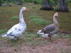 Sam Houston Jones Ducks