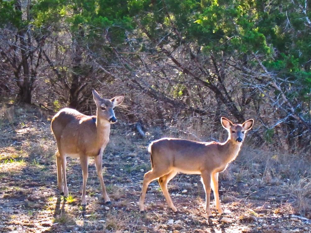 Deer in our Campsite
