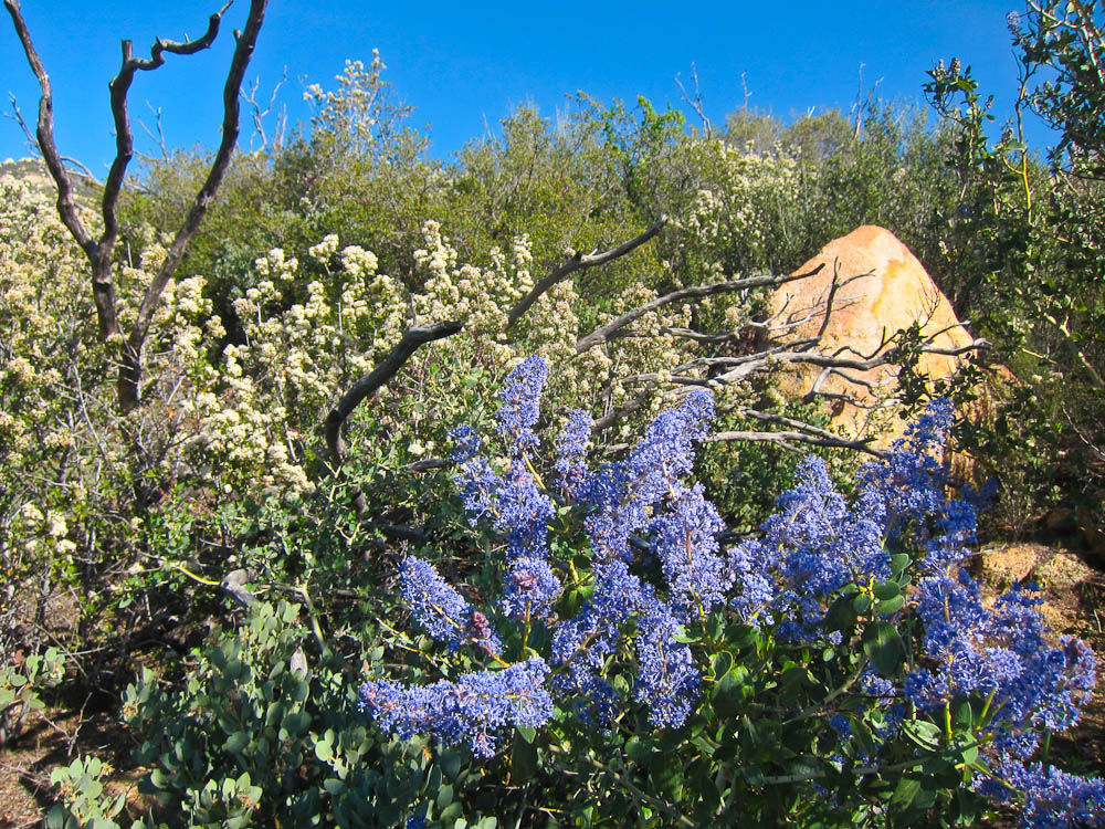 Wildflowers in Backcountry San Diego