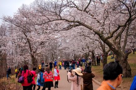high-park-cherry-blossoms-1