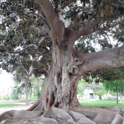 1 Ficus