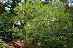 fringe tree pre-bloom