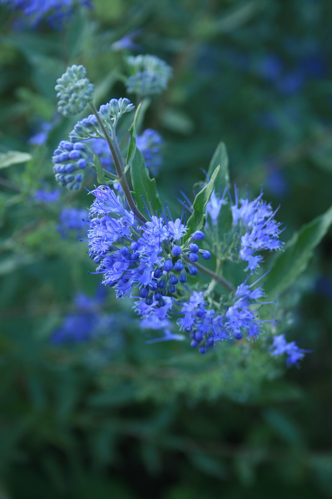 detail from an enormous caryopteris