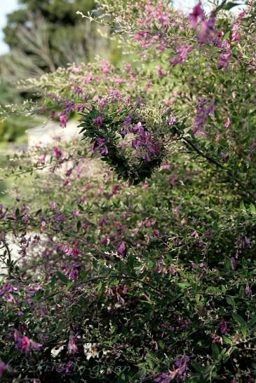 I heart fasciation (Lespedeza thunbergii 'Gibraltar')