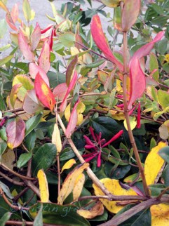 trumpet honeysuckle (Lonicera sempervirens 'Major Wheeler')