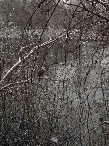 Black-crowned night heron hunkered in the snow this morning.