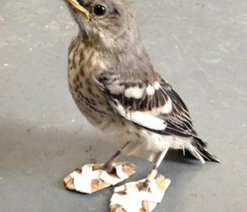 This Injured Bird Receiving Handmade Snowshoes Will Melt Your Heart