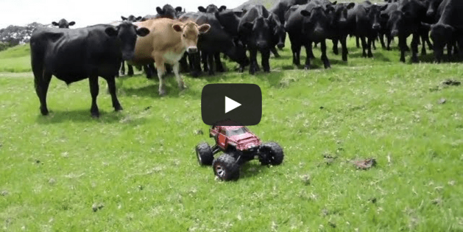 RC Roundup Rawhide Herding Cows With RC Car