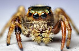 "Meet Kim, The World's First ""Pet"" Spider That Jumps On Demand"