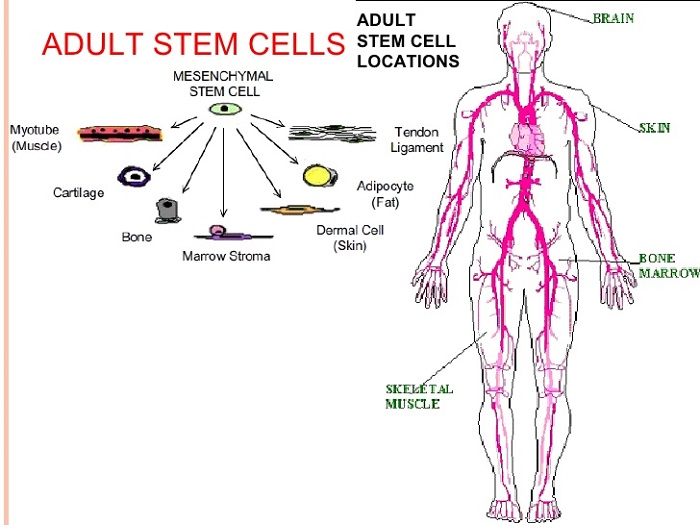 Glyconutrients stem research cell adult
