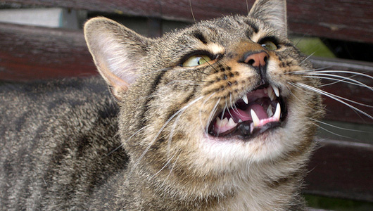 Cats can make around 100 different sounds