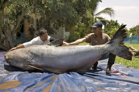 World's biggest catfish