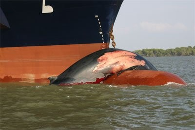 Every year near about eleven blue whales get struck by ships which pass through the West Coast of the United States.