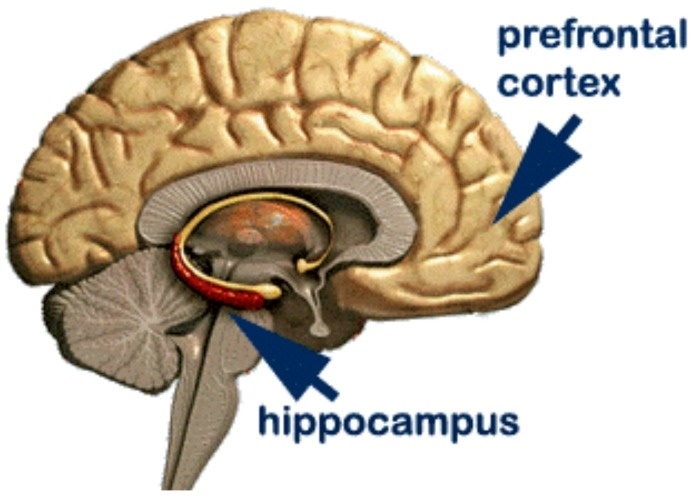 Hippocampus is considered as one amongst the main components