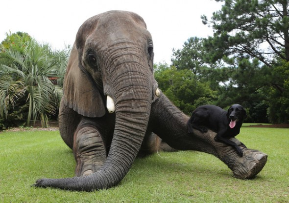 Elephants live as long as humans do