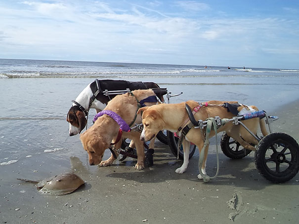 Disabled Dogs Can't Figure Out A Horseshoe Crab