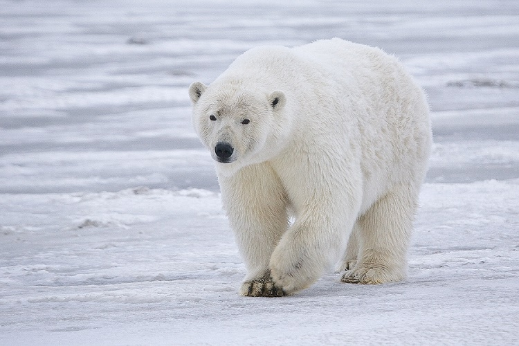 Toxic levels of Vitamin A in the liver of Polar bears