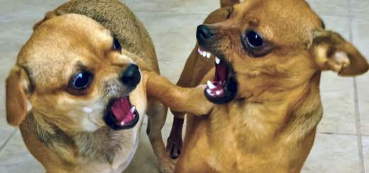 10 Small aggressive dog breeds that can be dangerous