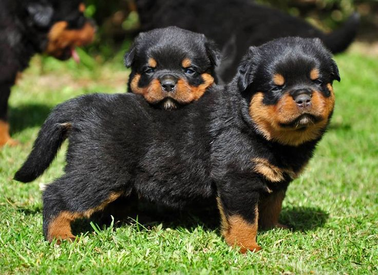 Rottweilers for leo