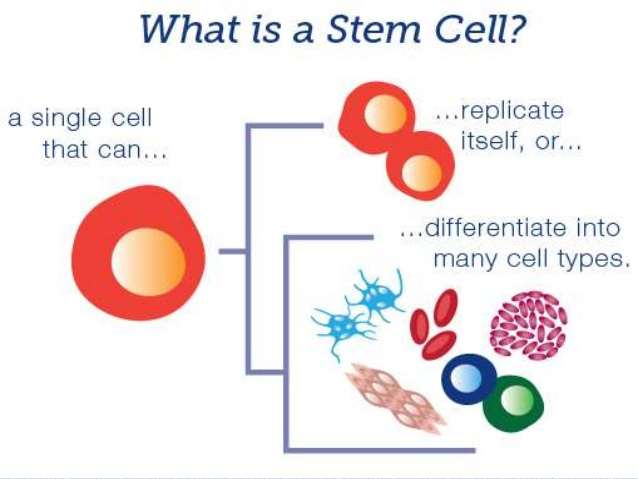 Why are stem cells important?