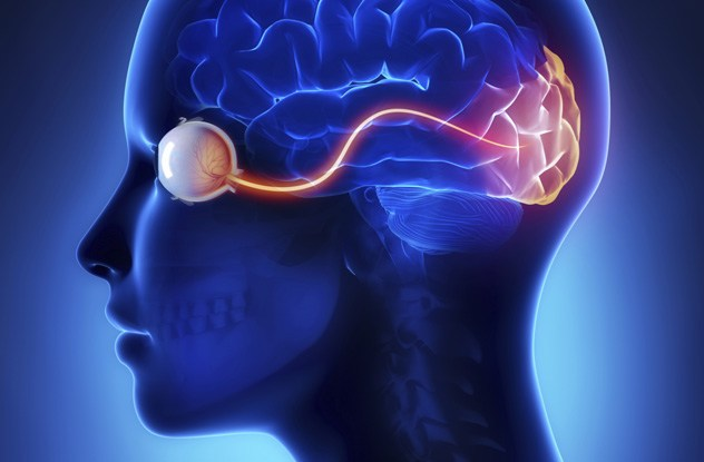 Optic Nerve Attachments And Blind Spots
