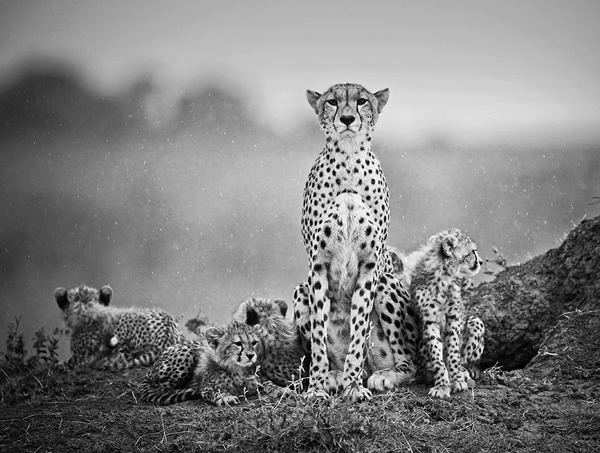 Cheetahs. Stephen Earle