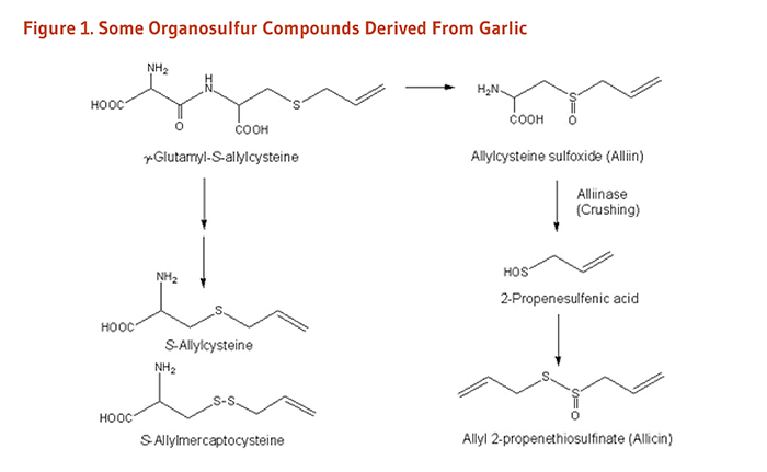 Compounds Present In Garlic Reduces Risks from Several Cancers