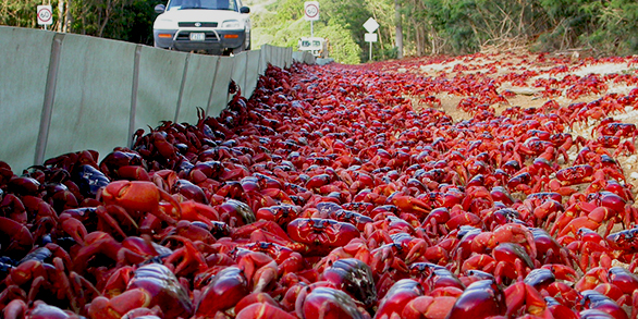 Red Crabs of Christmas Island