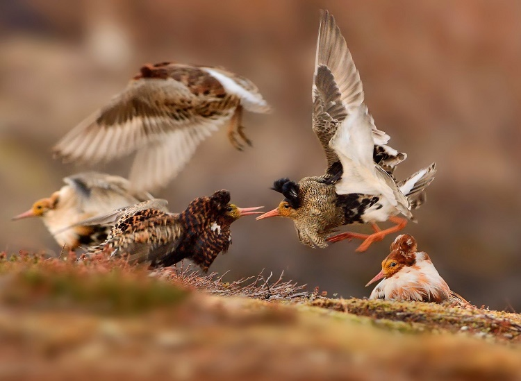 Ruffs during Mating Displays. Ondrej Pelanek