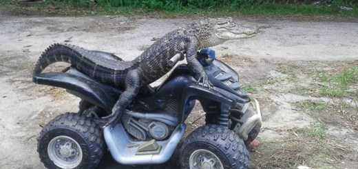 This woman is fighting with the authorities to keep her pet alligator that wears clothes and watches TV!