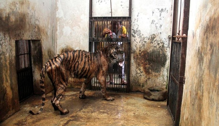 Have You Ever Seen a Tiger As Pathetic As This?