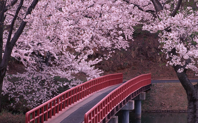 Spring Blossoms of Japan