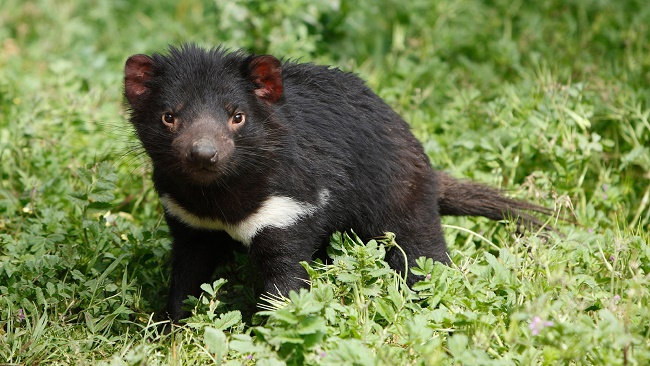 Protecting the Tasmanian Devil