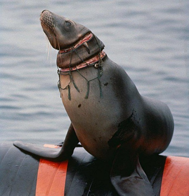 Seal Trapped in trash