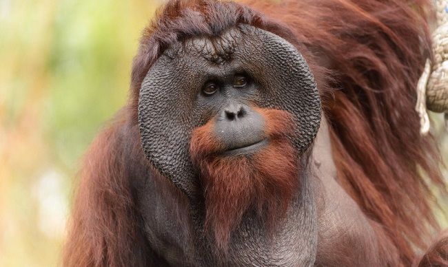 Habits of orangutans are also very close to humans