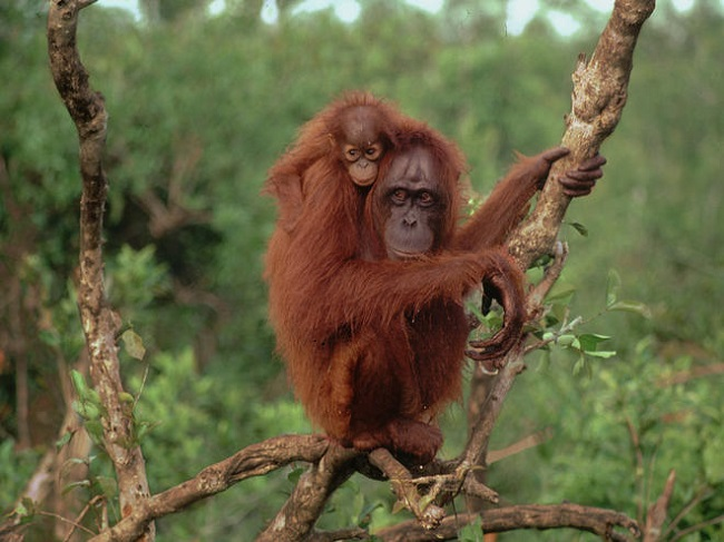 Mother orangutans are known to nurse their babies