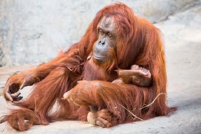 critically endangered Bornean orangutans are left