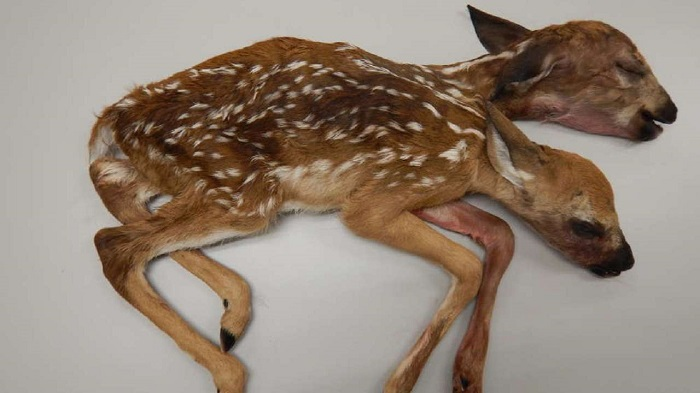 World's first two-headed baby deer