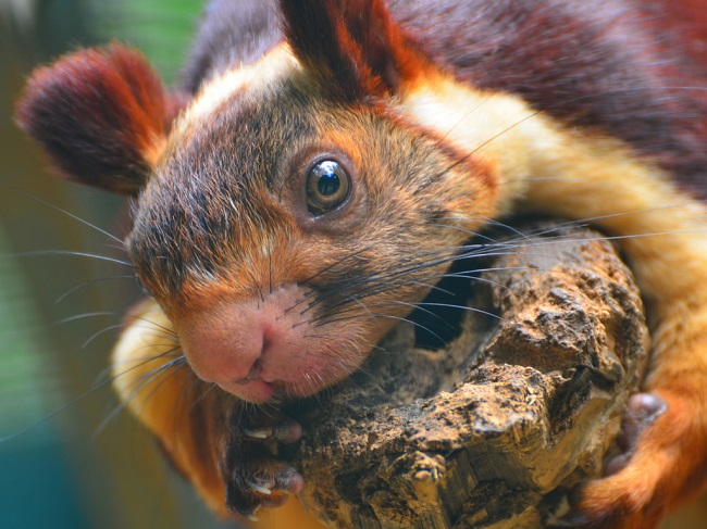 Interesting facts about Indian giant squirrels
